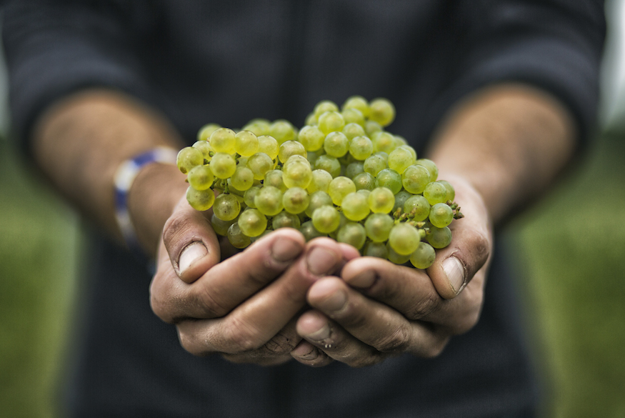 Moët & Chandon Chardonnay grapes