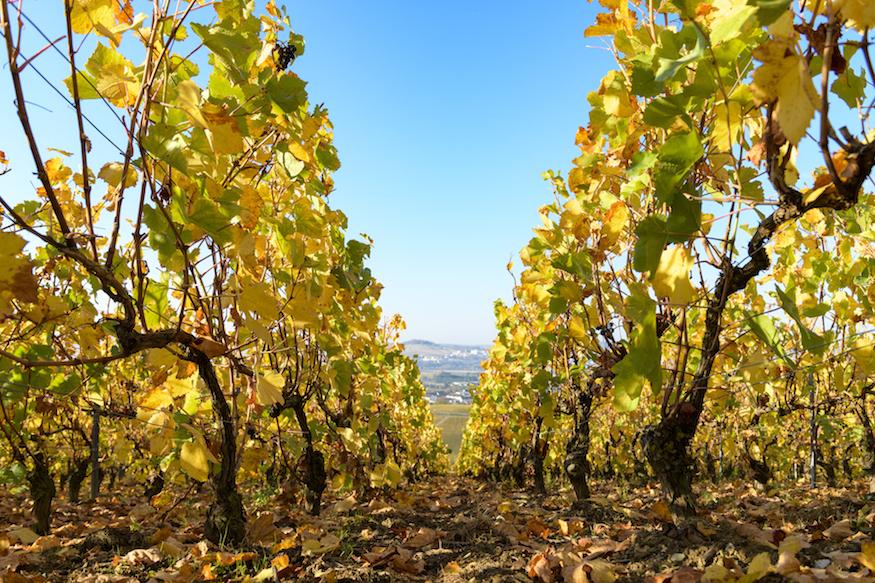 Moët & Chandon Pinot Noir vineyards at Ay, France Harvest