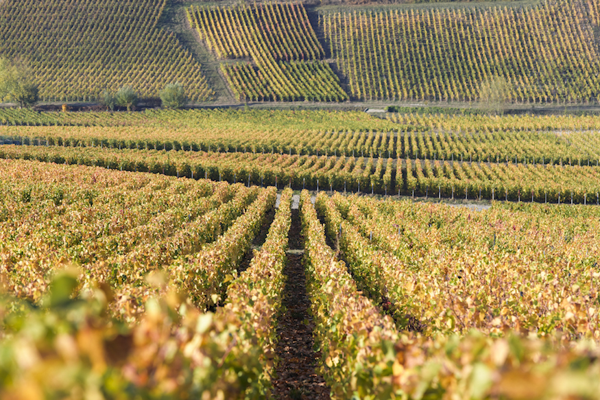 Moët & Chandon Pinot Noir vineyards at Ay, France